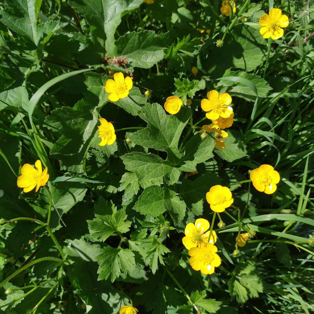 example photo of buttercups
